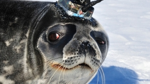 Weddell Seal in the Antarctica carrying a Valeport CTD sensor