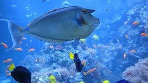 Nose Doctor Fish The National Marine Aquarium